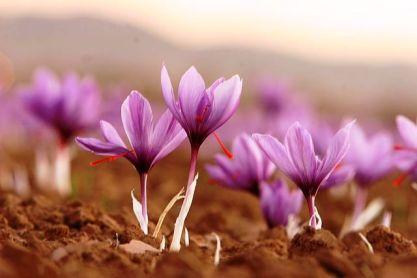 केशराची फुलं