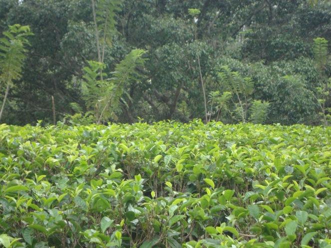 श्रीलंकेतली चहाची बाग