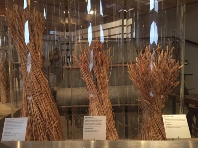 photo-5-wheats-in-australia