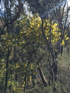 photo1wattle-tree-flowers