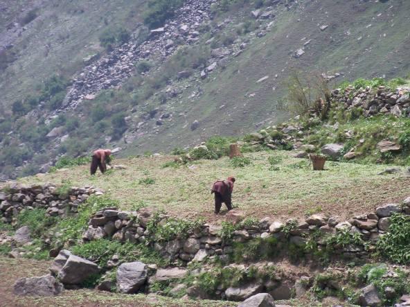 राजम्याची शेती